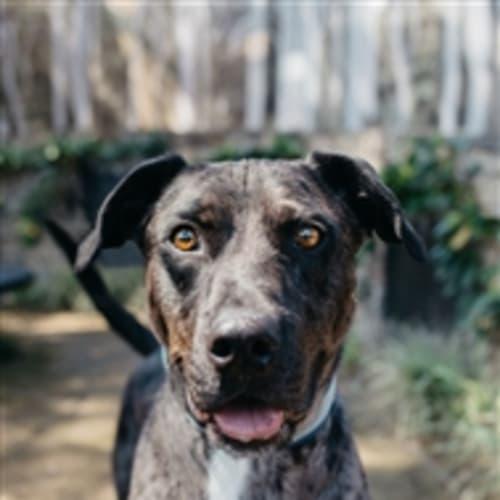 Kevin - Great Dane x Koolie Dog