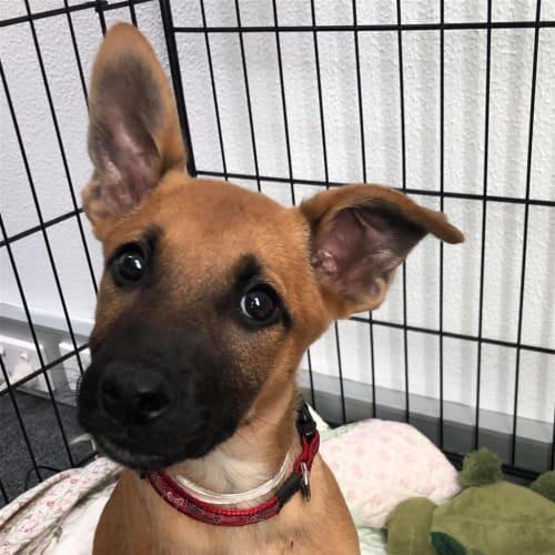 Stevie - German Shepherd Dog