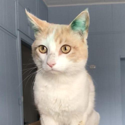 Danny - Domestic Short Hair Cat