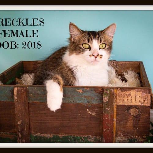 Freckles - Domestic Medium Hair Cat