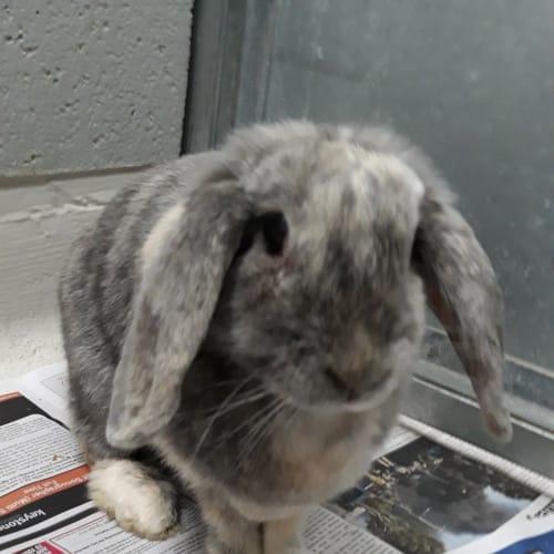 Hunter - Lop Eared Rabbit