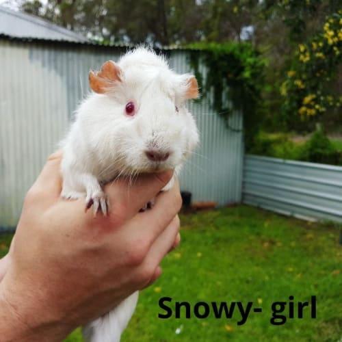 Snowy - Guinea Pig