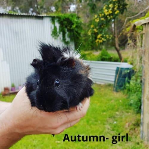 Autumn - Guinea Pig