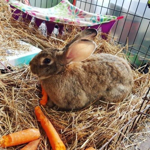 Mopsy - Flemish Giant Rabbit