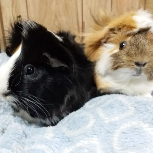 Leroy and Lana - Abyssinian Guinea Pig