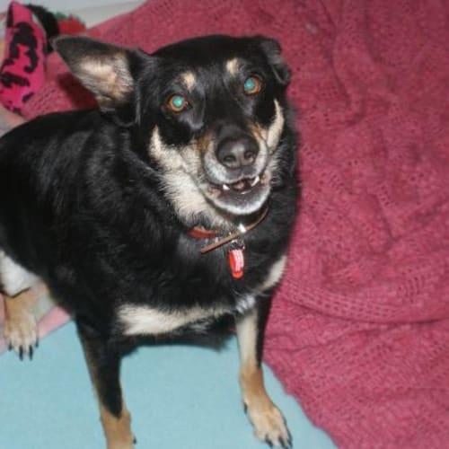 Bandit (with Rascal) - Kelpie Dog