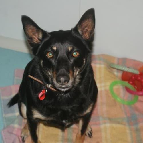 Rascal (with Bandit) - Kelpie Dog
