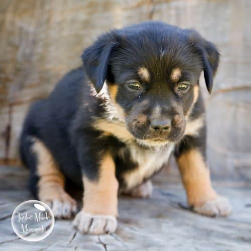 Havana - Kelpie x Australian Cattle Dog