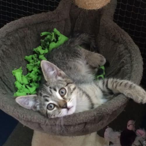 Mika - Domestic Short Hair Cat