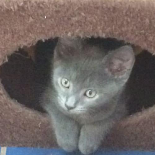 Maddox - Domestic Short Hair Cat