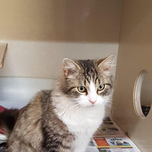 Louie - Domestic Medium Hair Cat