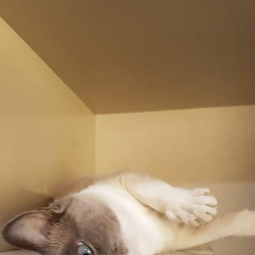 May - Domestic Short Hair Cat
