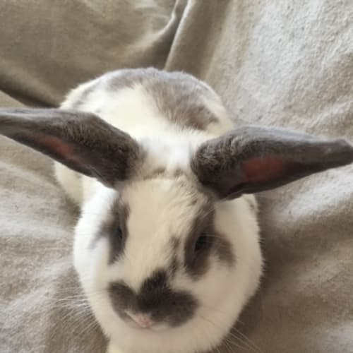 Gemma - Dwarf lop Rabbit