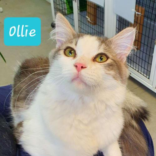 Ollie (3072019) - Domestic Medium Hair Cat