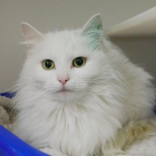 Elsa STA004379 - Domestic Medium Hair Cat