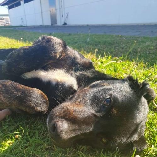 Kelpie x Puppy - Kelpie Dog