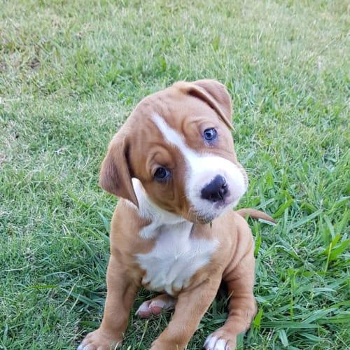 Duchess - Mastiff Dog