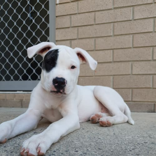 Patch  - American Bulldog x Bullmastiff Dog
