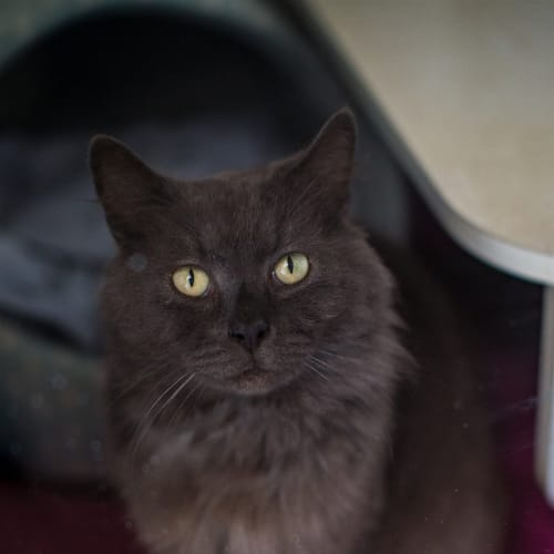 Smokey - Domestic Longhair Cat