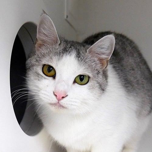 Artemisia STA004185 - Domestic Short Hair Cat