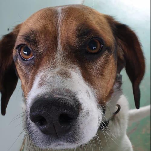 Kubo - 48365 - Beagle Dog