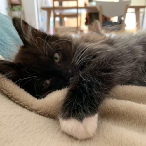 Baz and Holly - Domestic Medium Hair Cat