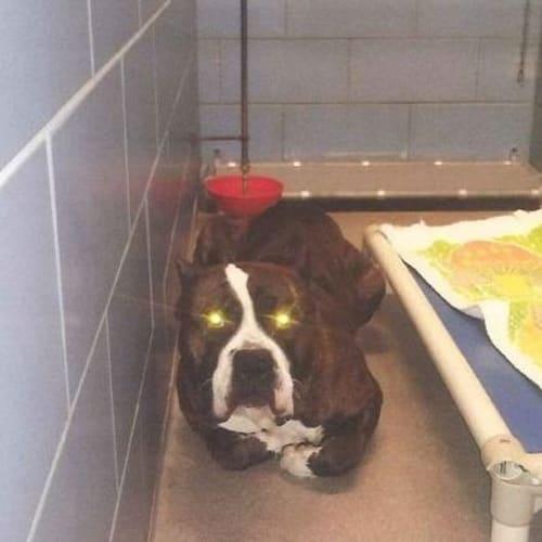 (Urgent!!) Rocky - Australian Bulldog