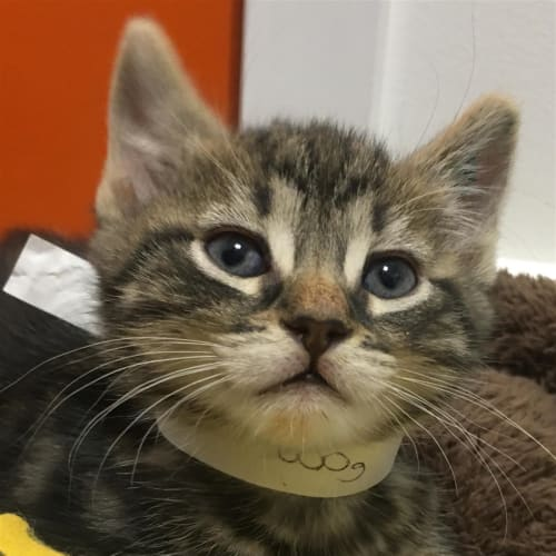 Murphy - Dsh Cat