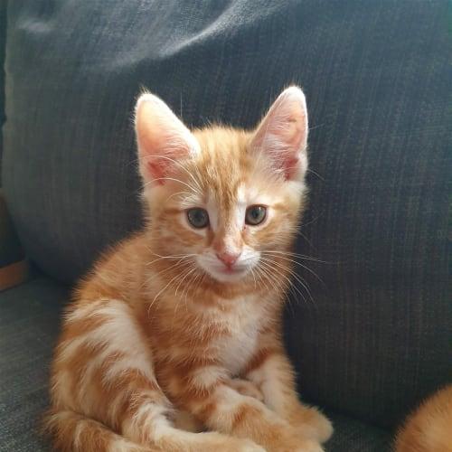 Cole - Dsh Cat