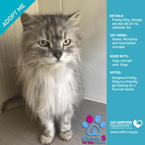 Pretty Kitty - Domestic Short Hair Cat