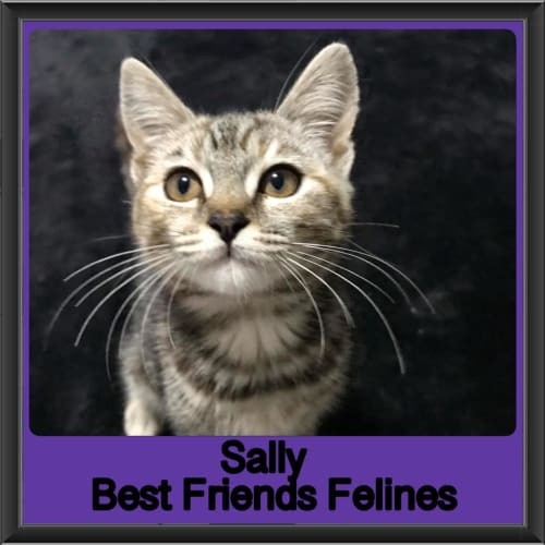 Sally  - Domestic Short Hair Cat