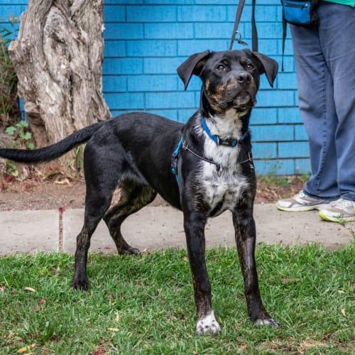 Ollie - Rottweiler X Dog
