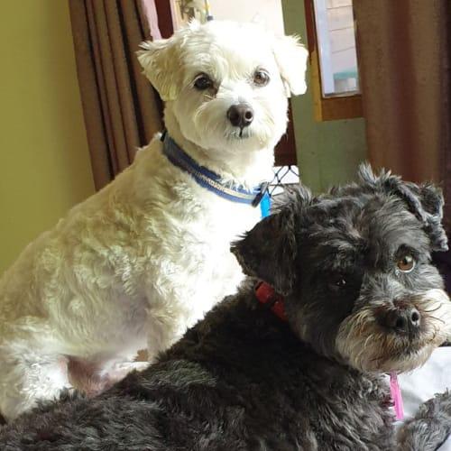 Timmy  - Maltese x Poodle Dog