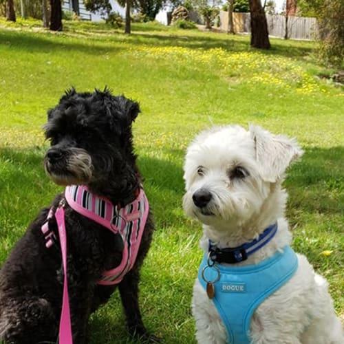 Didge - Poodle x Schnauzer Dog