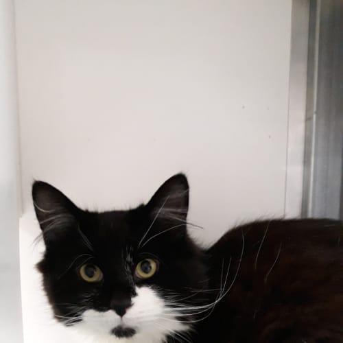 Ivan - Domestic Medium Hair Cat