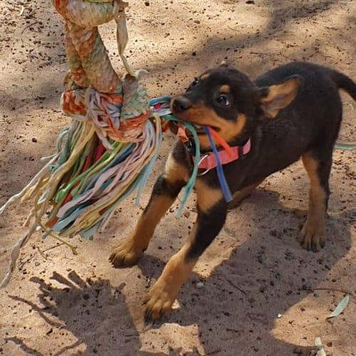 Sara - Kelpie Dog