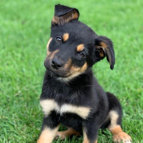 Maiev  - Husky x Kelpie Dog