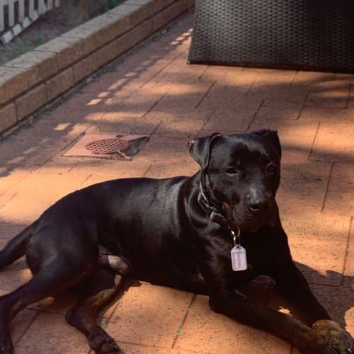Denny - Foster me - Staffordshire Bull Terrier Dog