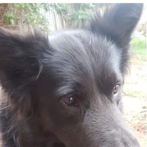 **On Trial** Buddy  - German Shepherd x Cross breed Dog