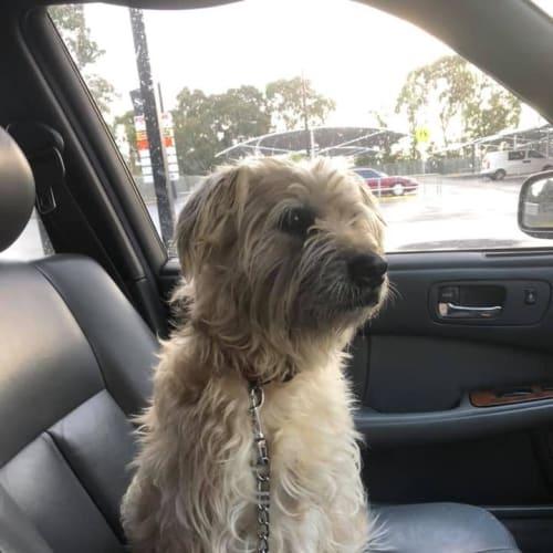 **On Trial** Cooper - Wheaten Terrier Dog
