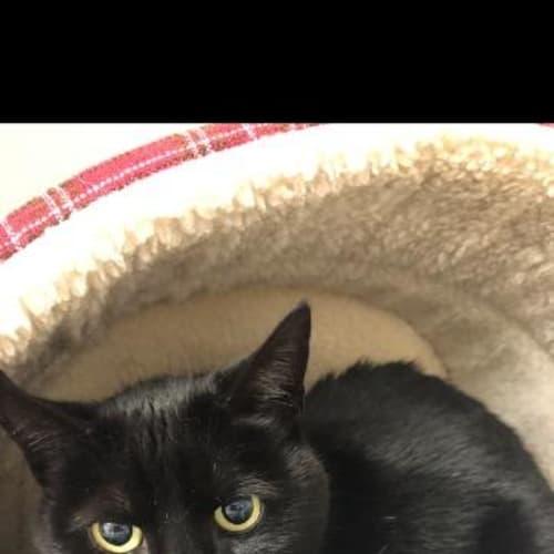 Clyde - Manx Cat
