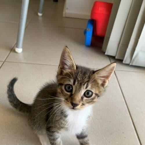 Mojo - Domestic Short Hair Cat