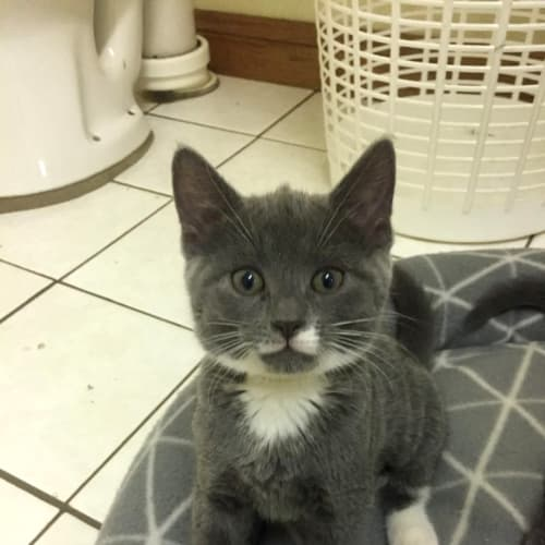 Bruno - Domestic Short Hair Cat