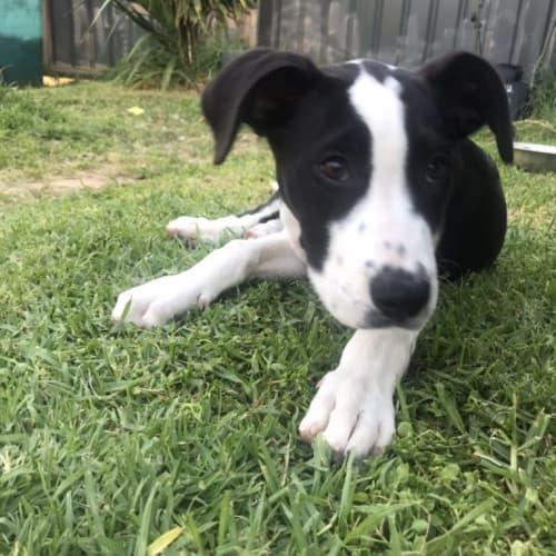 Nellie - Dalmatian x Great Dane Dog