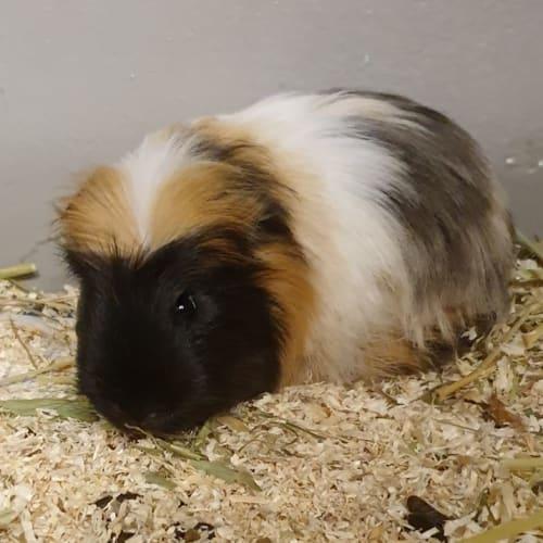 Theodore - Guinea Pig