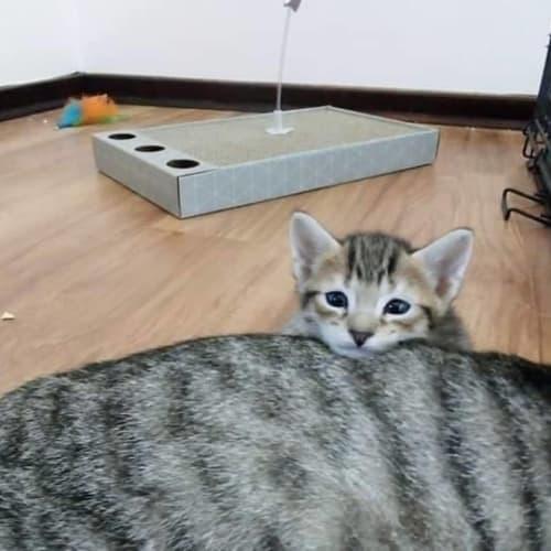 Eric - Domestic Short Hair Cat