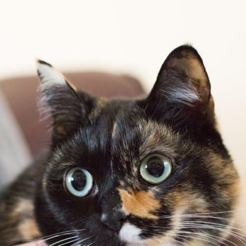Cashew - Domestic Short Hair Cat