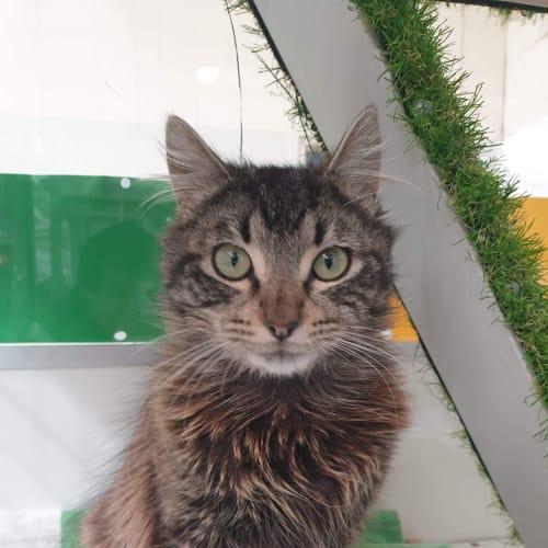 Jefferson - Domestic Medium Hair Cat