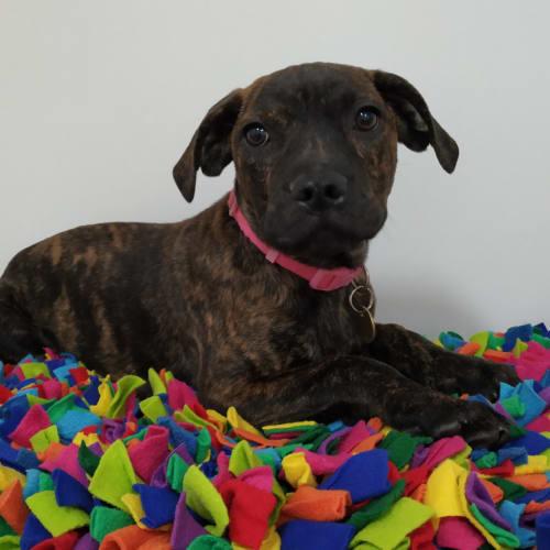 Harley - American Staffordshire Terrier Dog