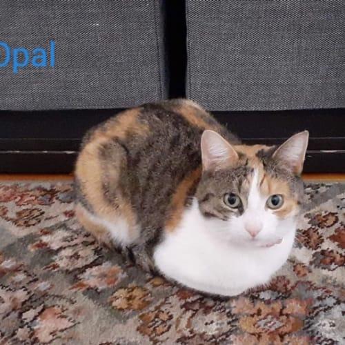 Opal - Moggie Cat
